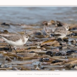 Becasseaux_Sanderling_11_03_2017_044-border