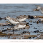 Becasseaux_Sanderling_11_03_2017_050-border