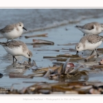 Becasseaux_Sanderling_11_03_2017_056-border