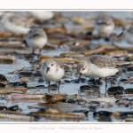 Becasseaux_Sanderling_11_03_2017_064-border