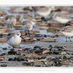 Becasseaux_Sanderling_11_03_2017_072-border