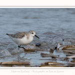 Becasseaux_Sanderling_11_03_2017_073-border