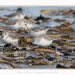 Becasseaux_Sanderling_11_03_2017_074-border