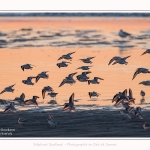 Becasseaux_Sanderling_20_01_2017_001-border