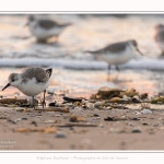 Becasseaux_Sanderling_20_01_2017_002-border