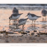 Becasseaux_Sanderling_20_01_2017_003-border