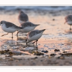 Becasseaux_Sanderling_20_01_2017_004-border