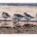 Becasseaux_Sanderling_20_01_2017_005-border