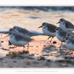 Becasseaux_Sanderling_20_01_2017_006-border