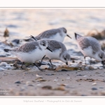 Becasseaux_Sanderling_20_01_2017_007-border