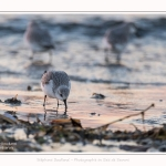 Becasseaux_Sanderling_20_01_2017_008-border