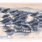 Becasseaux_Sanderling_20_01_2017_009-border