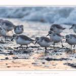 Becasseaux_Sanderling_20_01_2017_010-border