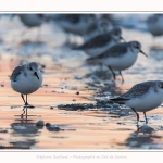Becasseaux_Sanderling_20_01_2017_011-border