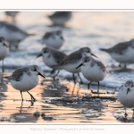 Becasseaux_Sanderling_20_01_2017_012-border