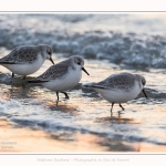 Becasseaux_Sanderling_20_01_2017_013-border
