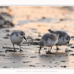 Becasseaux_Sanderling_20_01_2017_014-border
