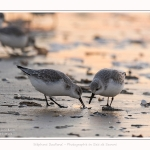 Becasseaux_Sanderling_20_01_2017_015-border