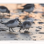 Becasseaux_Sanderling_20_01_2017_016-border
