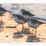 Becasseaux_Sanderling_20_01_2017_017-border
