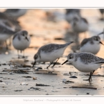 Becasseaux_Sanderling_20_01_2017_018-border