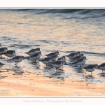 Becasseaux_Sanderling_20_01_2017_019-border