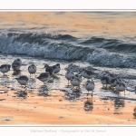 Becasseaux_Sanderling_20_01_2017_020-border