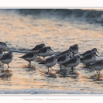 Becasseaux_Sanderling_20_01_2017_021-border