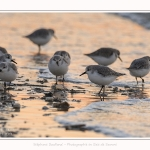 Becasseaux_Sanderling_20_01_2017_023-border