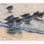 Becasseaux_Sanderling_20_01_2017_024-border