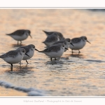 Becasseaux_Sanderling_20_01_2017_025-border