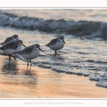 Becasseaux_Sanderling_20_01_2017_026-border