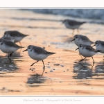 Becasseaux_Sanderling_20_01_2017_028-border