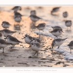 Becasseaux_Sanderling_20_01_2017_029-border