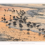 Becasseaux_Sanderling_20_01_2017_030-border