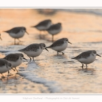 Becasseaux_Sanderling_20_01_2017_031-border
