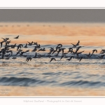 Becasseaux_Sanderling_20_01_2017_033-border