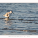 Becasseaux_sanderling_22_01_2017_001-border