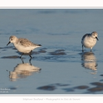 Becasseaux_sanderling_22_01_2017_002-border