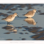 Becasseaux_sanderling_22_01_2017_003-border