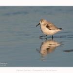 Becasseaux_sanderling_22_01_2017_004-border