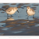 Becasseaux_sanderling_22_01_2017_005-border