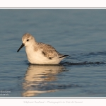 Becasseaux_sanderling_22_01_2017_006-border