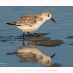 Becasseaux_sanderling_22_01_2017_007-border