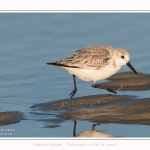 Becasseaux_sanderling_22_01_2017_008-border
