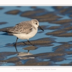 Becasseaux_sanderling_22_01_2017_009-border
