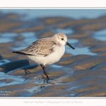 Becasseaux_sanderling_22_01_2017_010-border