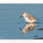 Becasseaux_sanderling_22_01_2017_011-border