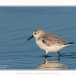 Becasseaux_sanderling_22_01_2017_012-border