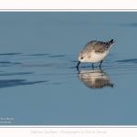 Becasseaux_sanderling_22_01_2017_013-border